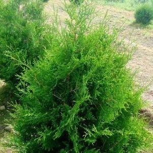 ФХ «Зеленый Горизонт» Туя западная Брабант Thuja occidentalis Brabant 120-140 см (юта) - фото 1