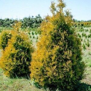 ФХ «Зеленый Горизонт» Туя западная Sunkist 140-160 см (мешковина+сетка) - фото 1