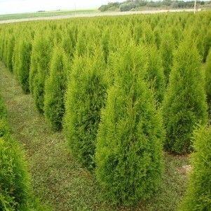 ФХ «Зеленый Горизонт» Туя западная Smaragd 100-120 см (юта) - фото 1