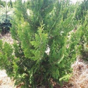 ФХ «Зеленый Горизонт» Туя западная Spiralis 100-120 см (юта) - фото 1