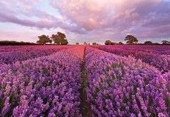 Фотообои Фотообои Komar Lavendel 1-615