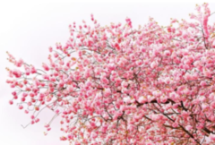 Фотообои Фотообои GreenBerry Цветение вишни 235