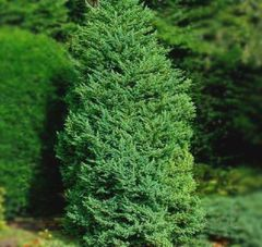 ФХ «Зеленый Горизонт» Можжевельник китайский Monarch 80-100 см (мешковина+сетка)