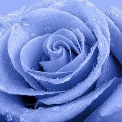 Фотообои Фотообои Vimala Голубая роза