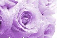Фотообои Фотообои Vimala Фиолетовые розы