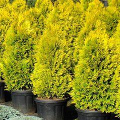 ФХ «Зеленый Горизонт» Туя западная Golden Brabant 30 см (контейнер 2.5 л)
