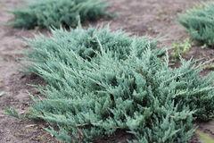 ФХ «Зеленый Горизонт» Можжевельник горизонтальный Blue Chip 30 см (контейнер 2.5 л)