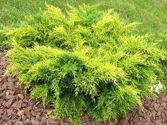 ФХ «Зеленый Горизонт» Можжевельник средний Mordigan Gold 45 см (контейнер 7.5 л)