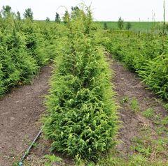 ФХ «Зеленый Горизонт» Можжевельник обыкновенныйSuecica 100-120 см (мешковина+сетка)