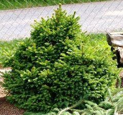 ФХ «Зеленый Горизонт» Ель обыкновенная Barryi 25 см (контейнер 2.5 л)