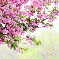 Фотообои Фотообои Vimala Сад с сакурой