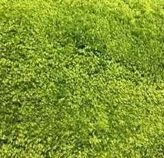 Ковровое покрытие Brest`s Carpets Шегги 15С48-ДЭ (салатовый)