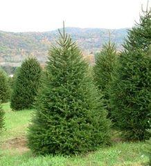 ФХ «Зеленый Горизонт» Ель обыкновенная Picea abies 200+ см (мешковина+сетка)