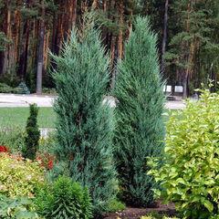 ФХ «Зеленый Горизонт» Можжевельник скальный Blue Arrow 30 см (контейнер 2.5 л)