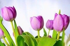Фотообои Фотообои Vimala Тюльпаны