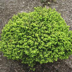 ФХ «Зеленый Горизонт» Ель обыкновенная Little Gem 20 см (контейнер 3 л)