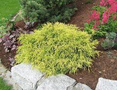 ФХ «Зеленый Горизонт» Кипарисовик горохоплодный Filifera Aurea Nana 20 см (контейнер 2.5 л)
