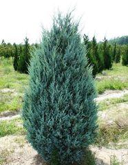 ФХ «Зеленый Горизонт» Можжевельник виргинский Glauca 30 см (контейнер 2.5 л)