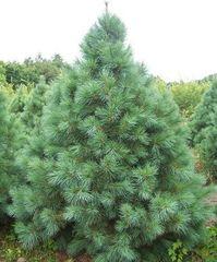ФХ «Зеленый Горизонт» Сосна гибкая Glauca 25 см (контейнер 2.5 л)