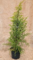 ФХ «Зеленый Горизонт» Можжевельник обыкновенныйSuecica 30 см (контейнер 2.5 л)