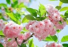 Фотообои Фотообои Vimala Цветение сакуры
