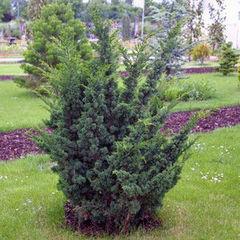 ФХ «Зеленый Горизонт» Можжевельник китайский Blaauw 80-100 см (мешковина+сетка)