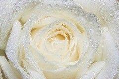 Фотообои Фотообои Vimala Утренняя роза