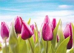 Фотообои Фотообои Prestige Фиолетовые тюльпаны №11